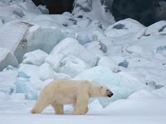 Polar Bear Shot Dead In Arctic Ocean After It Attacked A Ship Worker