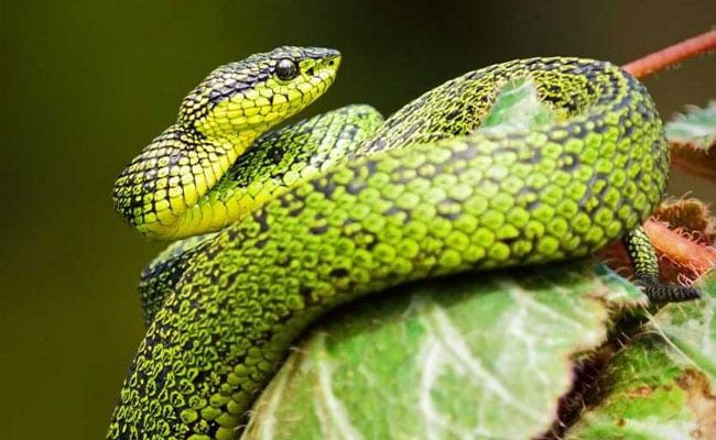 After Kerala Floods, Over 15 Snakes Rescued In Last 3 Days