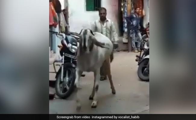 Bakrid 2018: बकरीद में आया 'Baahubali' बकरा, हाथ लगाने से डर रहे लोग
