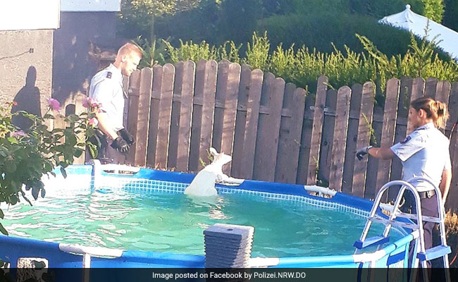 Escaped White Kangaroo Leads Police On Chase, Jumps Into Pool