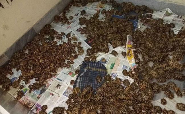 Singapore Returns 50 Smuggled Indian Star Tortoises To Karnataka