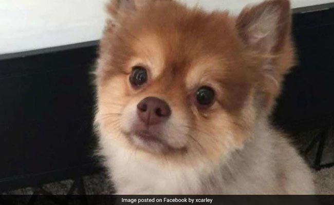 This Pomeranian Was Found Dead On A Delta Flight Last Month And His Owner Still Doesn't Know What Happened