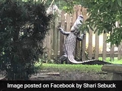 Huge 7 Foot Alligator Tries To Climb Fence To Escape Capture