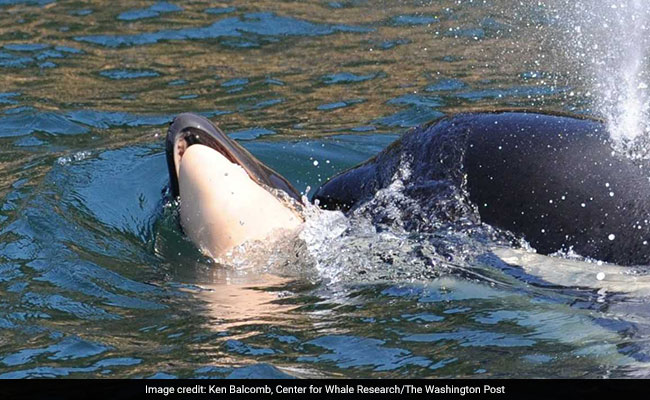 Grieving Orca Mother Still Carrying Her Dead Calf. It's Been 16 Days