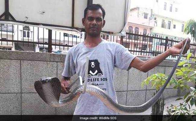 It's Raining Cobras In Delhi  Three Found And Captured In A Day