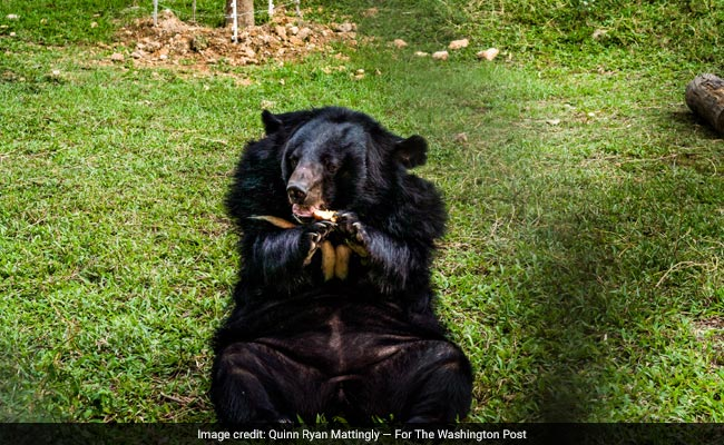 From Hemorrhoids To Hangovers: Bear Bile Is Treasured In China, And That's Bad For Captive Bears