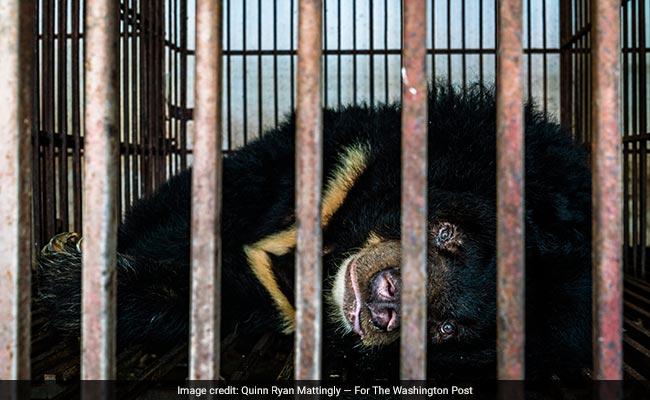 asian black bears wp
