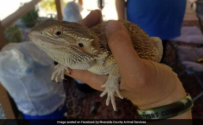 They Ordered Bicycle Online, Opened Package To Find Bearded Dragon Inside