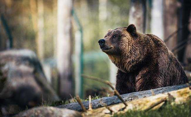 US Man Secretly Fed Bears For A Decade 'To Keep Them Safe', Say Officials