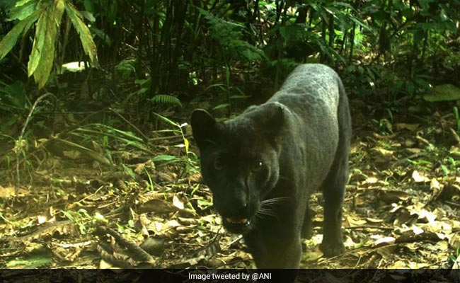 Rare Black Panther Spotted In Odisha S Sundergarh Forest