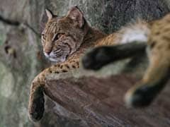"""""""It Was Either Me Or The Cat"""": US Woman Kills Rabid Bobcat With Bare Hands"""