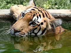 On International Tiger Day, Hopes Pinned For Tiger Population To Increase