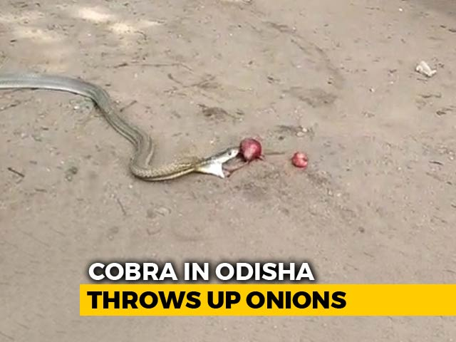 Video : Watch: Cobra In Odisha Swallows And Throws Up 11 Onions