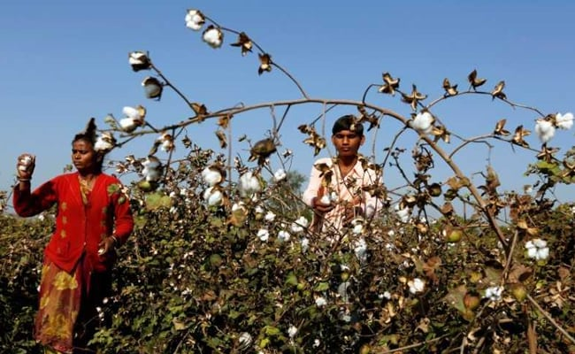 Weak Monsoon Delays Cotton, Soybean Sowing In India