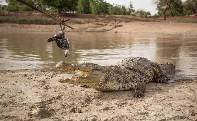 crocodile lovers bazoule burkina faso afp