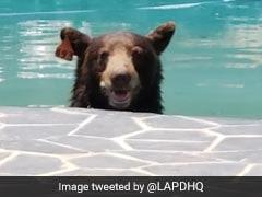 Watch: After Taking Dip In Pool, Bear Roams Through Neighbourhood