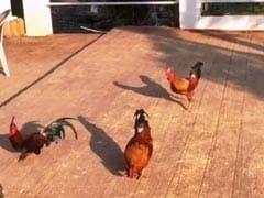धर्मेंद्र ने दिखाई मुर्गी की खातिर मुर्गे की दीवानगी, लिखा- इश्क पे जोर नहीं; देखें Video