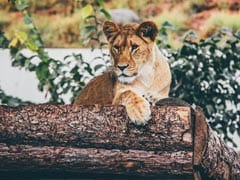 Indore Zoo To Send 2 Lionesses To Japan In Coolest  Exchange Program Ever