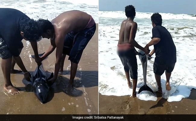 Beached Dolphin At Odisha Beach Saved By Good Samaritans. Watch Rescue