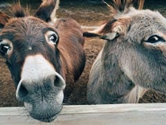 "China ""Medicine"" Demand Threatens Global Donkey Population: Report"