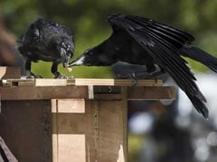 50 More Crows Found Dead In Rajasthan's Jodhpur