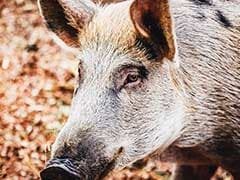 920 Pigs Die Of African Swine Fever In Mizoram In Less Than A Month