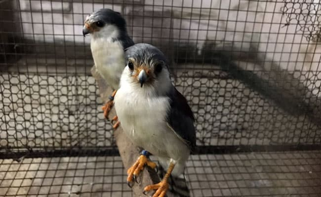 Drunk birds flying into cars, acting confused in northern Minnesota