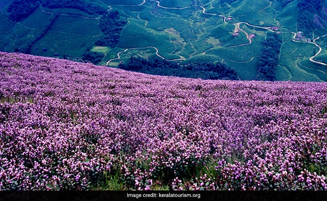 Kerala's Munnar Gets Ready For A Rare Flower That Blooms Once In 12 Years