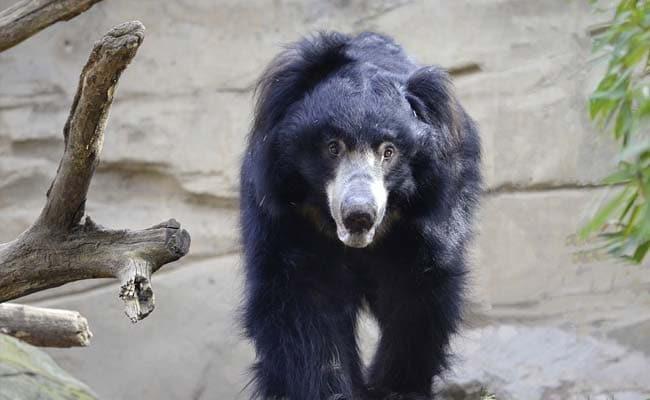 भालू ने बीजेपी नेता पर हमला कर किया घायल, अस्पताल में भर्ती