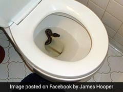 Man Finds Python Inside Toilet Bowl, Captures It
