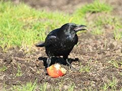 At This Theme Park, Crows Have Been Trained To Pick Up Litter