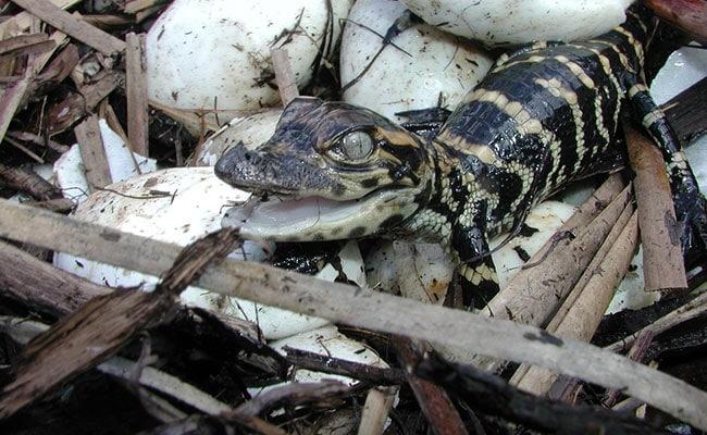 Baby Crocodiles Emerge From Eggs In Odisha's Bhitarkanika National Park
