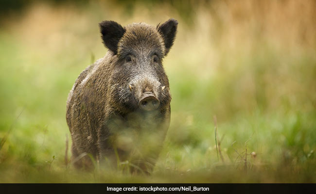 Anger In The Countryside French Farmers Bristle As Wild Boars Run Amok
