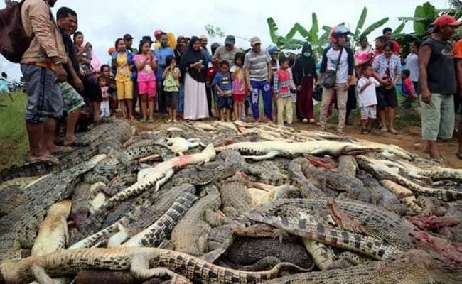 Indonesian mob kills 300 crocodiles seeking revenge for man's death