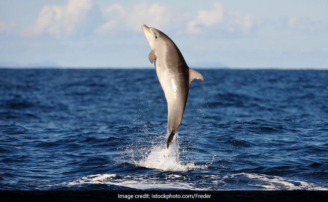French Town Bans Swimming Over Love Lorn Dolphin's 'Sexual Behaviors' Toward Humans