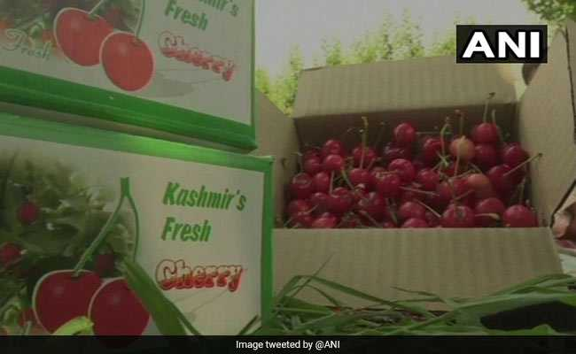 Kashmiri Growers Get A Bumper Crop Of Cherry This Year