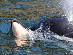 Orca Mother Finally Lets Go Of Dead Calf She Carried Around For Weeks