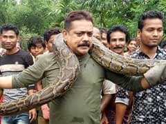 40 Kg Python Tried To Choke Forest Ranger As Crowd Rushed For Selfies