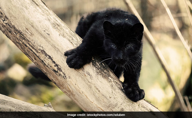 Injured Panther Cub Rescued In Hyderabad, Put Under Medical Care