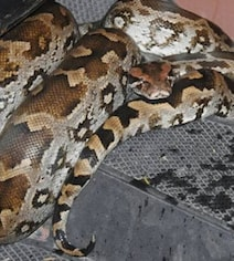 Delhi Man Finds Python Coiled Up On His Scooter, Panic Ensues