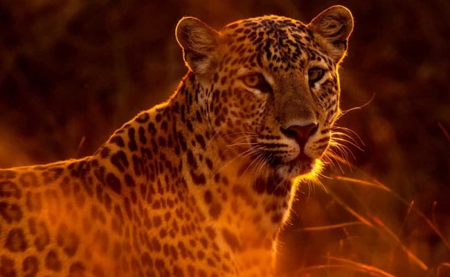 Leopard Kills 7-year-Old In Gujarat Village: Official