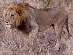 Lion Dies After Falling In Well In Gujarat's Junagadh
