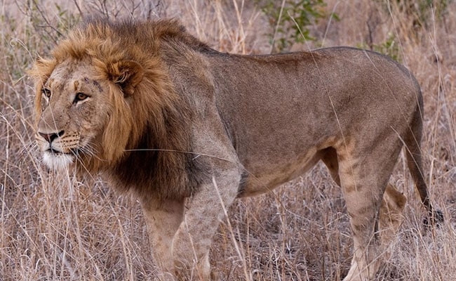 Lion And Leopard Found Dead In Gujarat's Gir-West Area