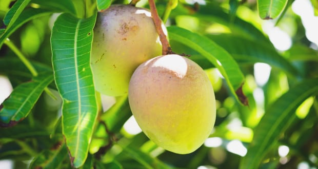 Mango Leaves For Diabetes: This Simple Home Remedy May Help Manage Blood Sugar