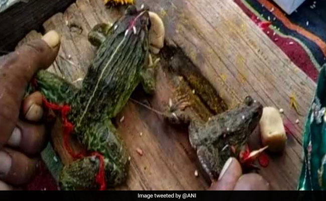 Frogs Married In Madhya Pradesh To 'Please Rain Gods', Minister Attends