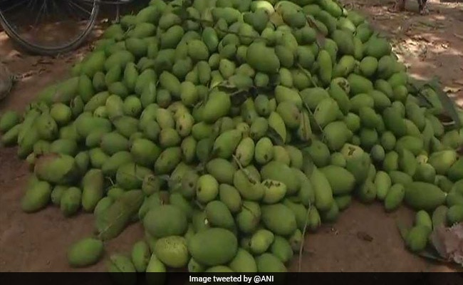 Dust Storm Damages Mango Harvest, UP Farmers Face 40% Losses