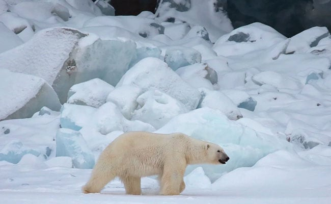 Polar Bear Killed After Attacking Cruise Ship Worker In Arctic