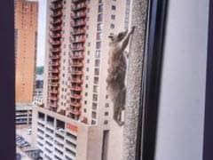 Raccoon Makes It To Top Of 25-Storey Skyscraper Through 'Superpowers'