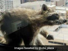 Raccoon Conquers Skyscraper, Becomes Overnight Internet Sensation