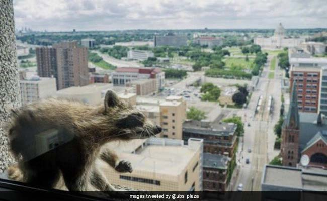 Raccoon Conquers Skyscraper, Becomes Overnight Internet Sensation